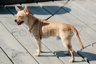 Sweet chihuahua dog in the sun