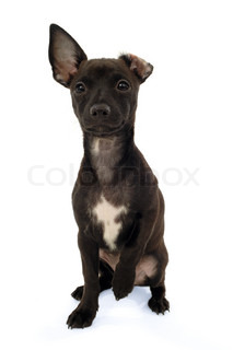 Chihuahua puppy dog sitting on a white background