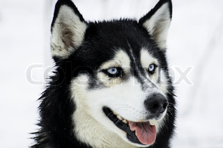 It is a medium-size dog, dense-coat working dog breed that originated in eastern Siberia