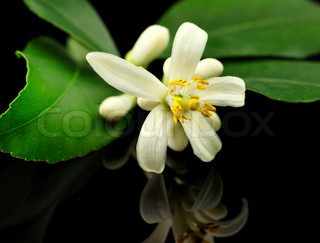 lemon tree flowers and leaves
