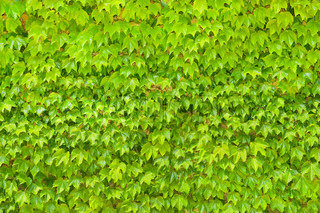 Wall background from green leaves of a creepers plant