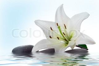 Madonna lilje og spa sten i vand på hvid