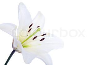 hvide lilje blomst over hvide baggrund