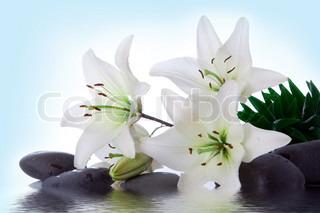 Madonna lilje blomst med sten