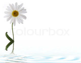 camomile flower in water with ripples