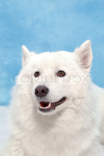 White dog on blue background.