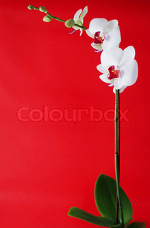 Flowers of white orchid on red