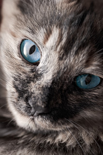portrait of the charming cat with blue eyes