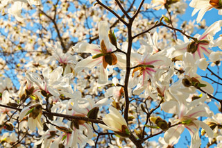 Blossoming of white magnolia flowers in spring time