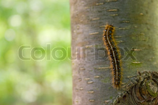 Closeup of a caterpillar climbing up the side of a tree in the woods