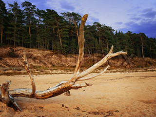old dry tree on the beach against pinery