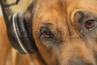 The ridgeback listens to music on the headphones