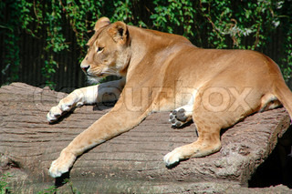 Lion is resting in the sun