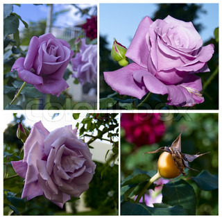four seasons of life of rose