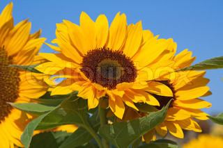 Sunflower head on the bright sunny day