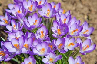 Første forår blomster : violet krokus vokser efter smeltning af sne