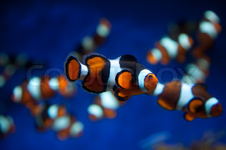 Clown fish in a deep blue water