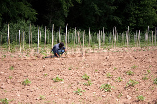 A farm laborer or farmer planting tomato plants in rows in the field