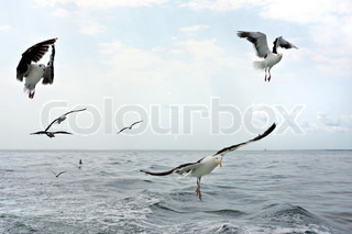 A group of scavenging seagulls flying over the ocean waters of the Long Island Sound