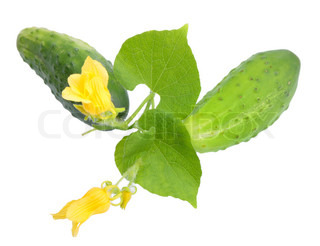 Two fresh cucumbers with leaf and yellow flowers