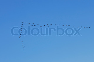 Group of big water birds flying in the clean blue sky