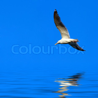 A large seagull flying over a blue sky with a reflection coming off the water