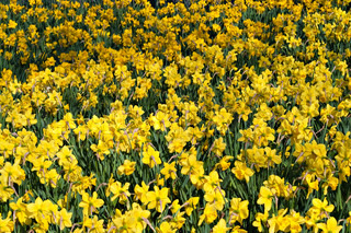 A field of bright yellow spring daffodil flowers