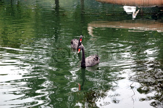 Two black swans floating on artificial lake in the Rostov zoo