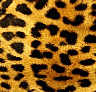 Natural pattern of leopard fur in detail
