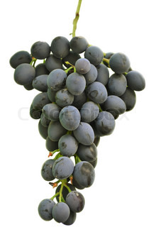 juicy bunch of grapes hanging on the vine
