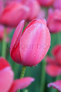 Pink tulip flower with morning dew drops