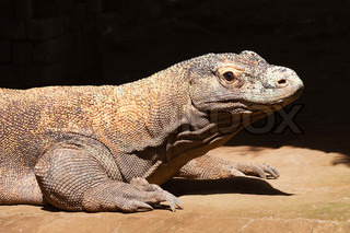 Komodo dragon (Varanus komodoensis) largest lizard of the world