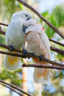 Birds in love: Pair of cockatoo parrots on the tree