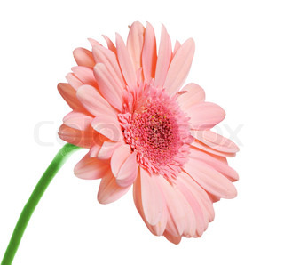 Pink blooming gerbera isolated on white