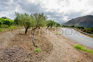 olive garden and vineyard on gentle slope in Etna region, Sicily