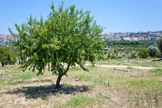 peach tree and view on town Agrigento, Sicily