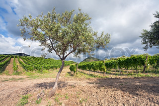 olive tree and vineyard on gentle slope in Etna region, Sicily