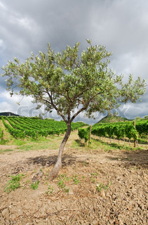 olive tree and vineyard