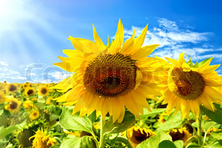 Two sunflowers on a background field with yellow sunflowers, blue sky, white clouds and sun
