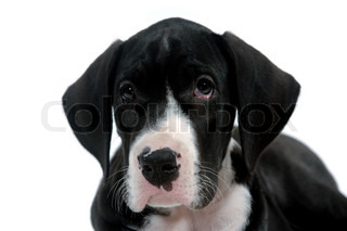 Young dog is posing on a clean white background