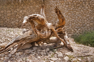 krumme et tørt træ i reserve på Det Døde Hav i Israel