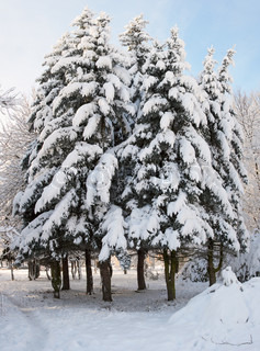 Winter snow covered fir trees group in city park