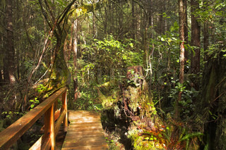 The wooden bridge through a bog in northern jungle Rainforest on island Vancouver