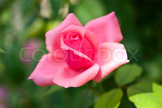 pink rose growing in the garden