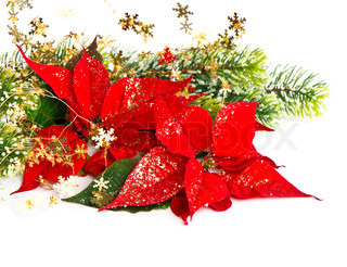 Red Poinsettia Christmas Flower with golden decoration card concept