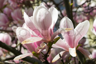 Blossoming twig of magnolia-tree (on blossom tree background)