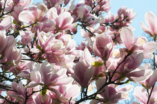 Blossoming twig of magnolia-tree on blue sky background