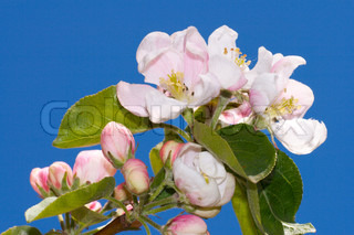 Blossoming twig of apple-tree (on blue sky background)