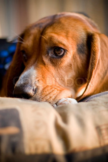 A sleepy beagle pup resting on its bed