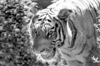 A ferocious tiger on the prowl in black and white